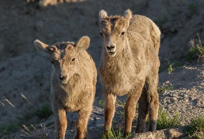 南达科他州的野生动物_图1-13