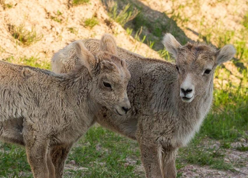 南达科他州的野生动物_图1-14