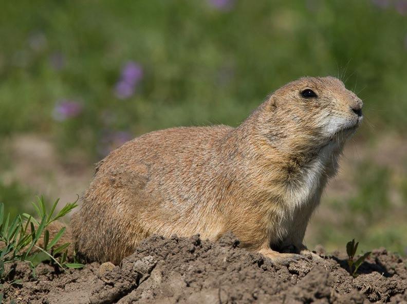 南达科他州的野生动物_图1-16