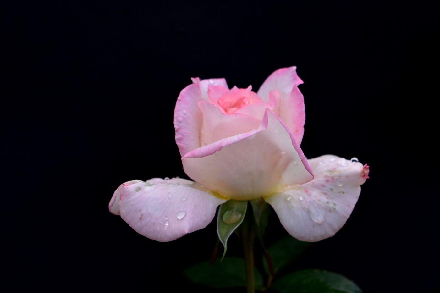 秋天的玫瑰_图1-1