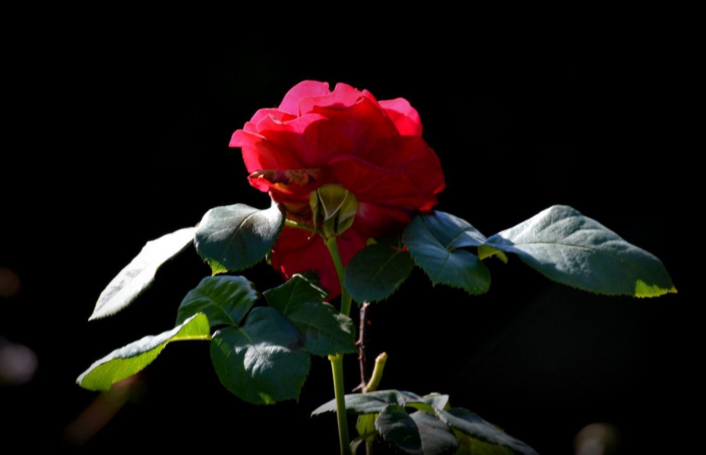 秋天的玫瑰_图1-3