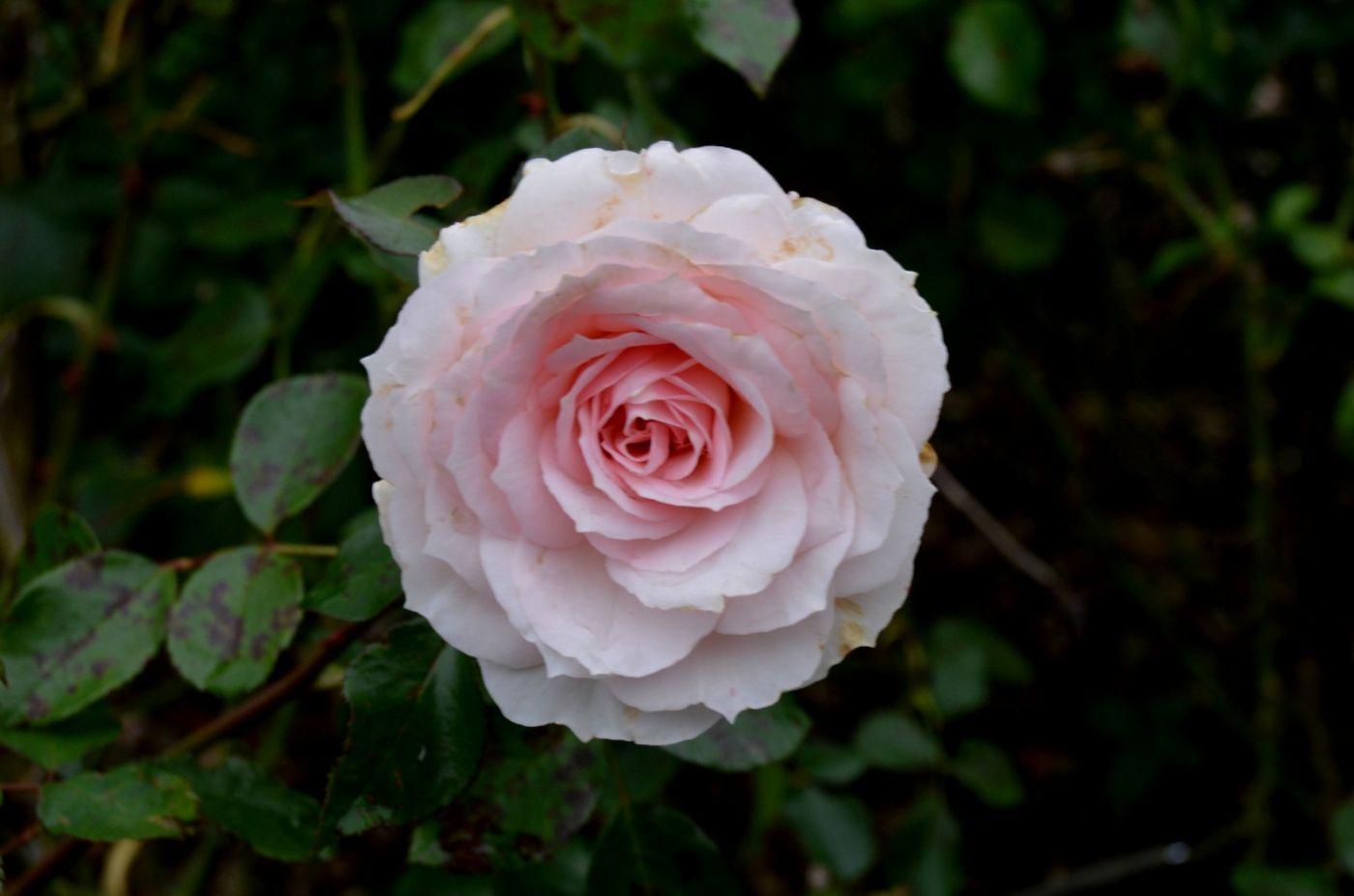 秋天的玫瑰_图1-4