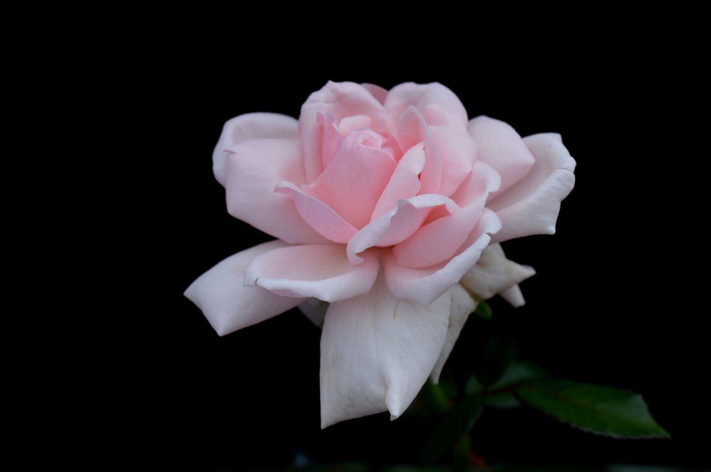 秋天的玫瑰_图1-5