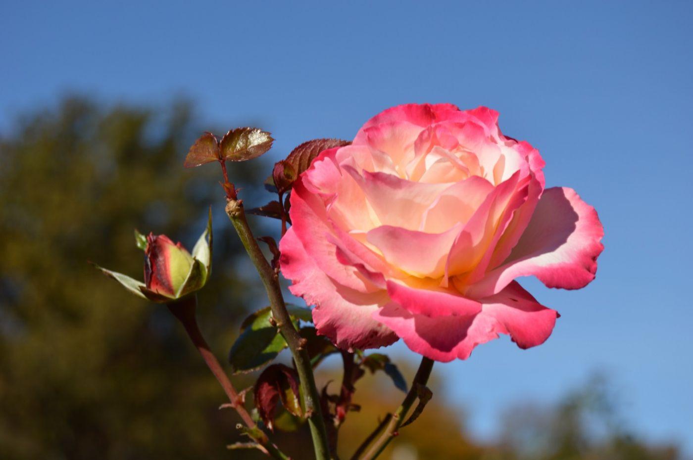 秋天的玫瑰_图1-8