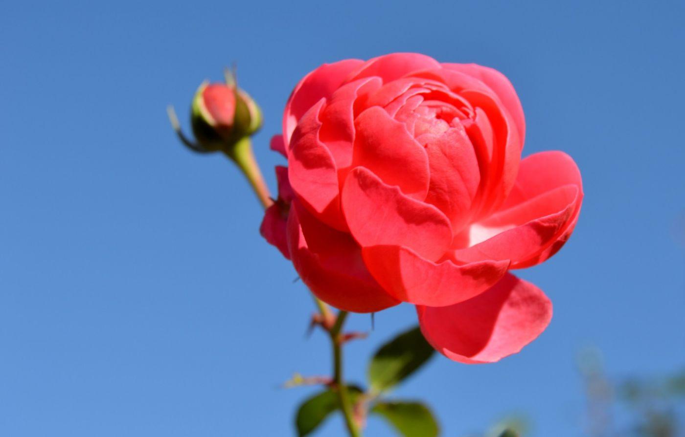 秋天的玫瑰_图1-9