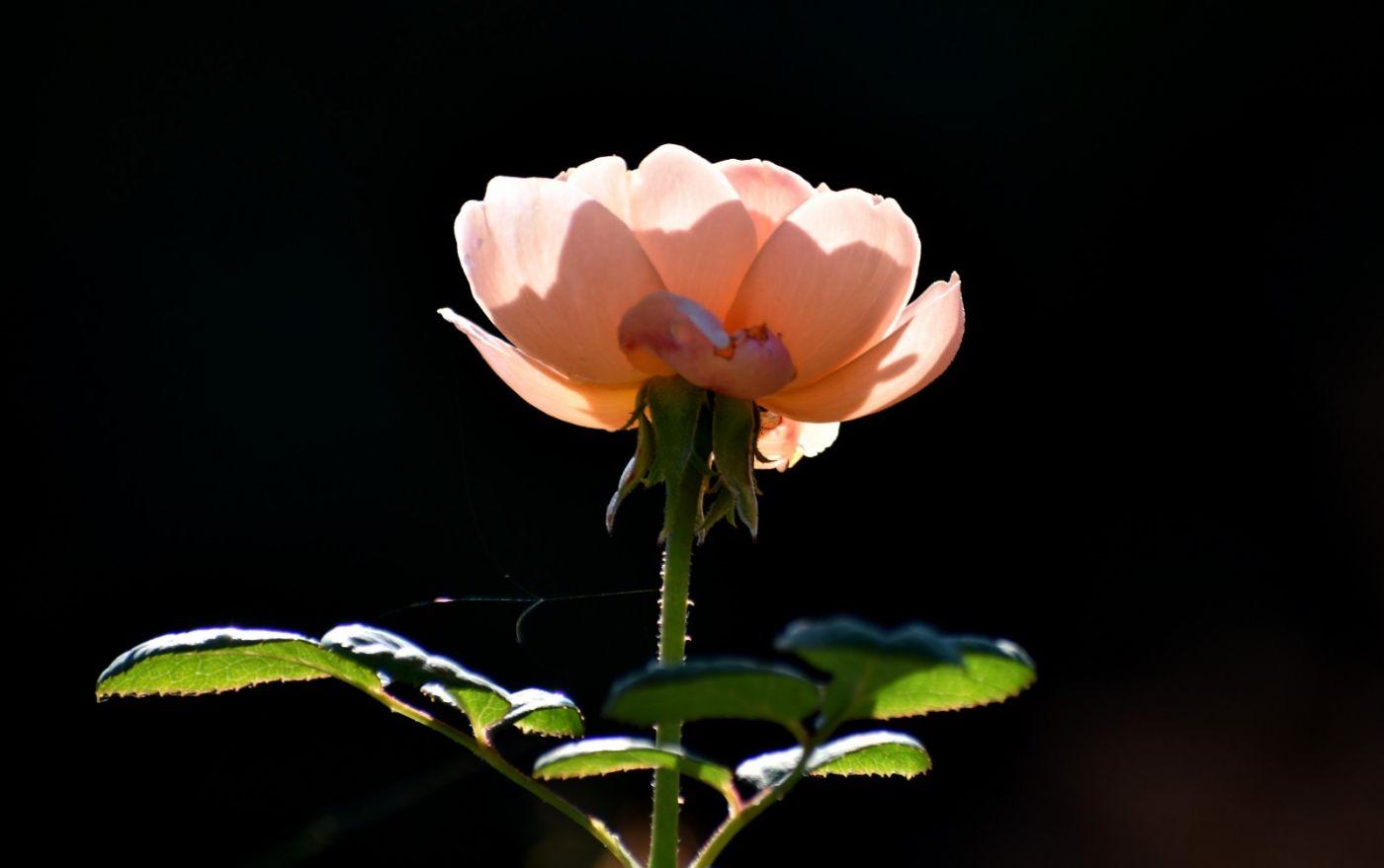 秋天的玫瑰_图1-10