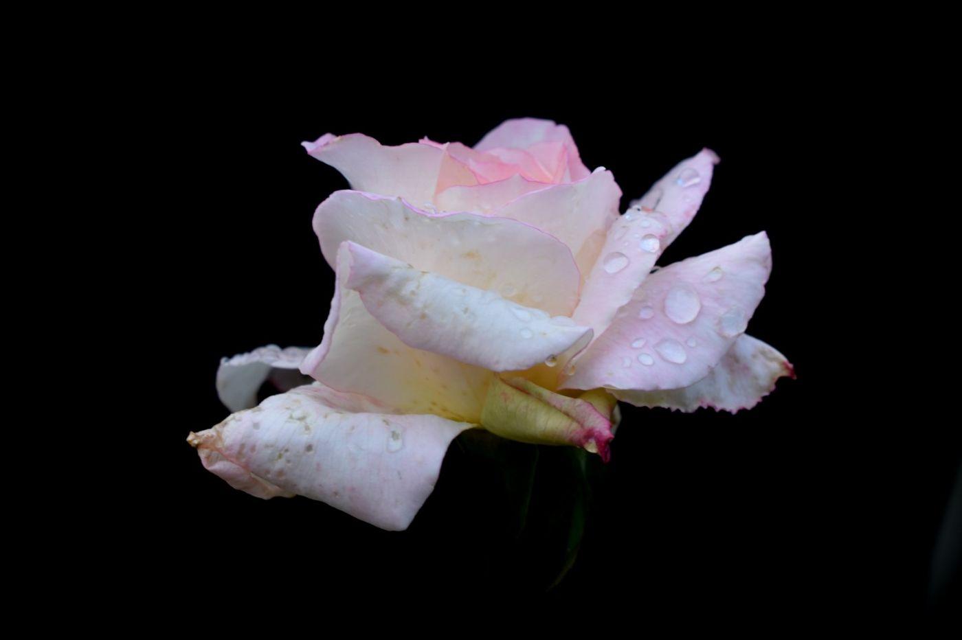 秋天的玫瑰_图1-12