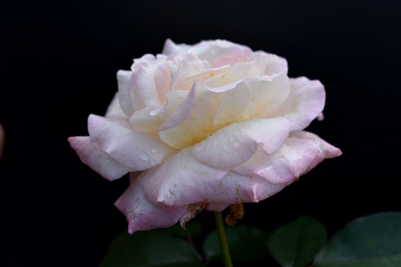 秋天的玫瑰_图1-13