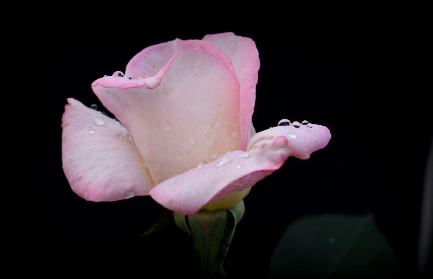 秋天的玫瑰_图1-14