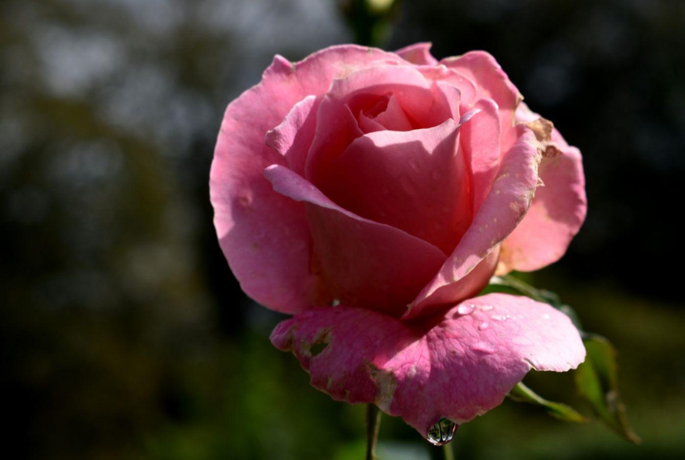秋天的玫瑰_图1-15