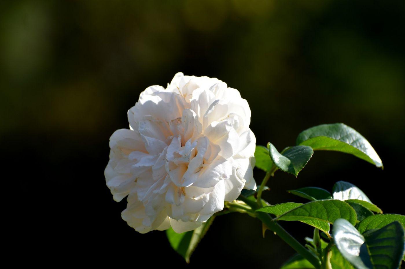 秋天的玫瑰_图1-20