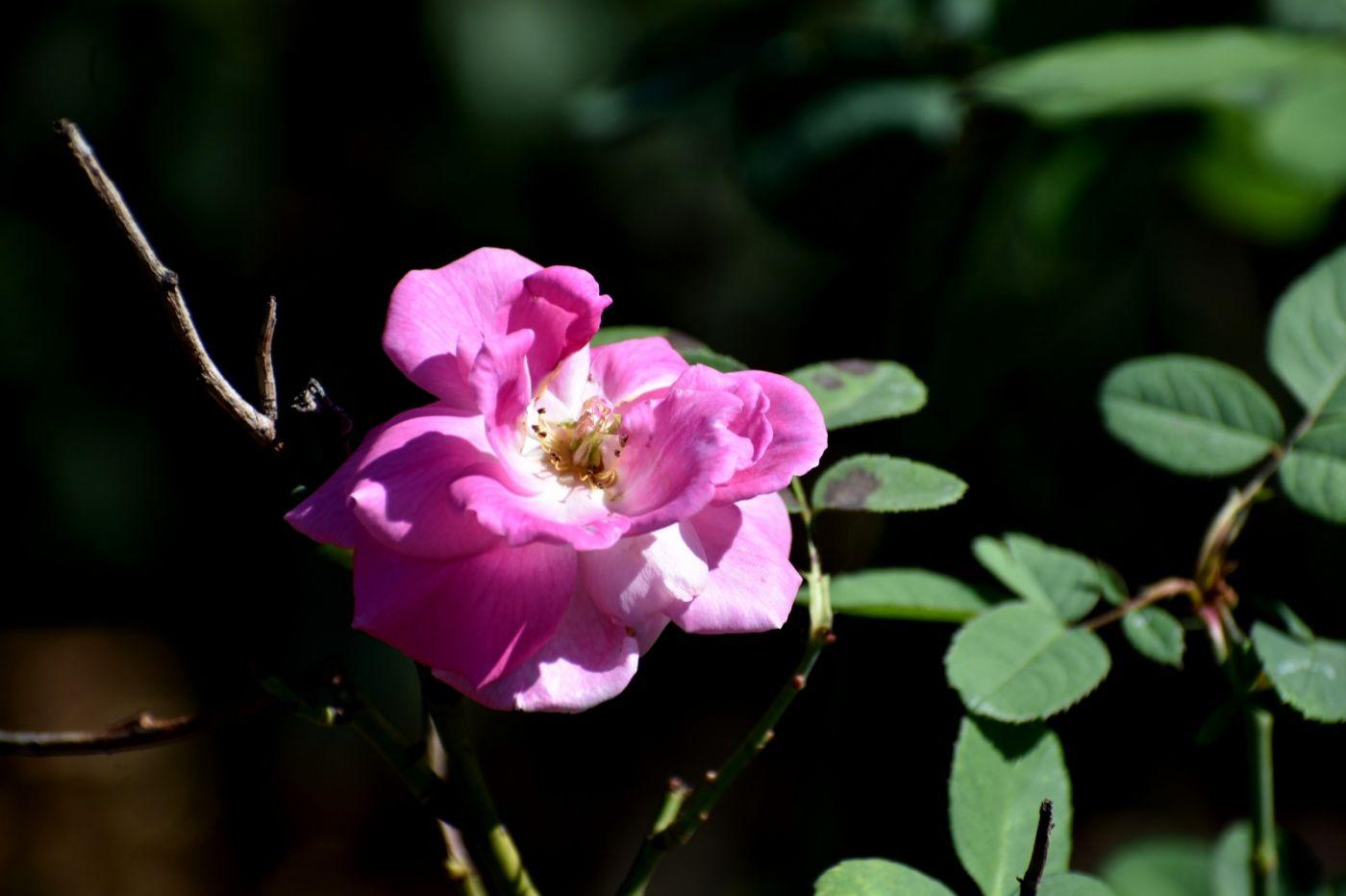 秋天的玫瑰_图1-21