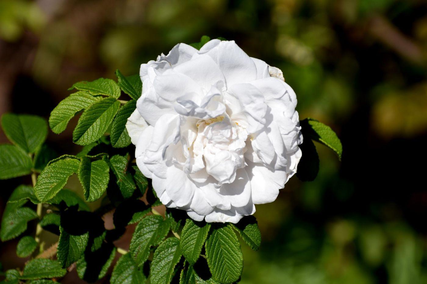 秋天的玫瑰_图1-22