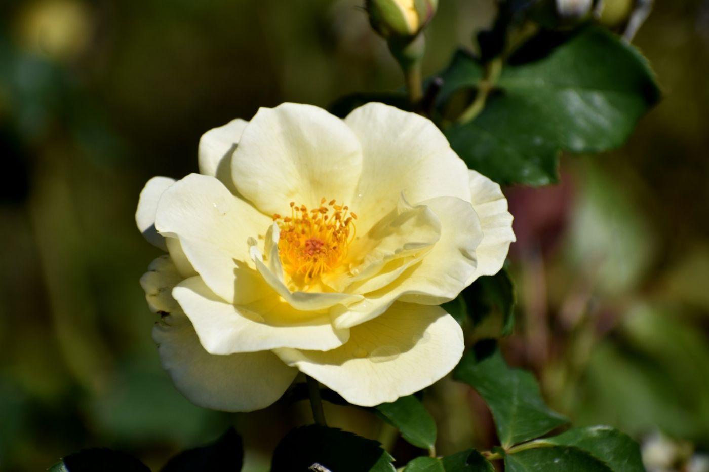 秋天的玫瑰_图1-23