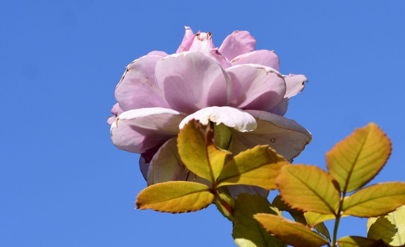秋天的玫瑰_图1-27