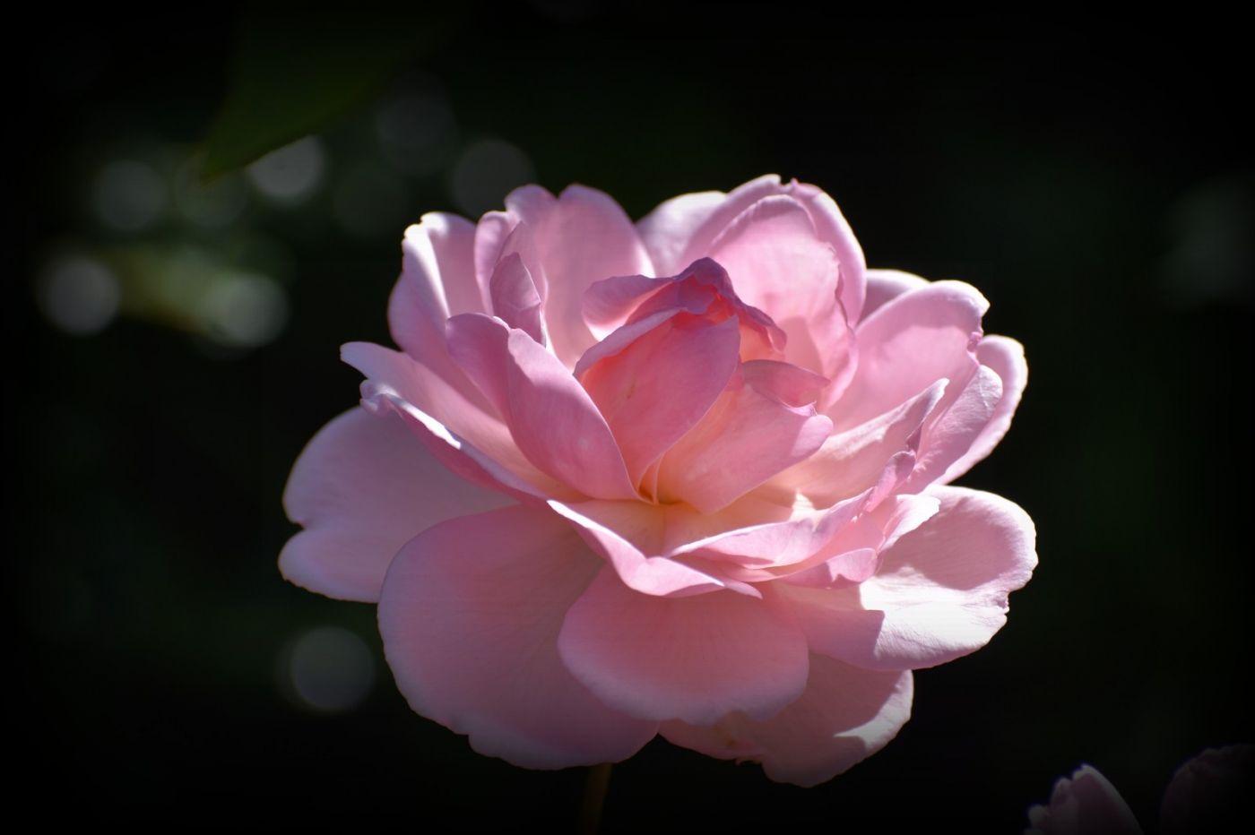 秋天的玫瑰_图1-28