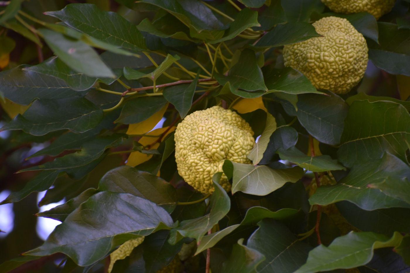 桑橙和释迦果_图1-7