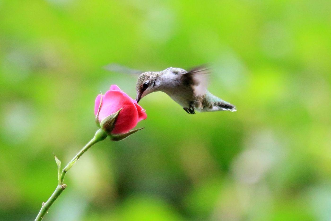 凯辛娜公园拍的蜂鸟_图1-1