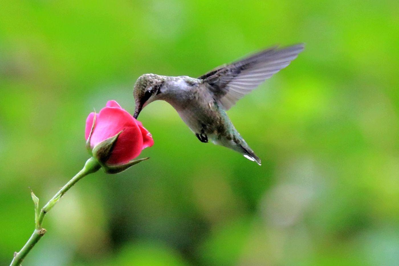 凯辛娜公园拍的蜂鸟_图1-2