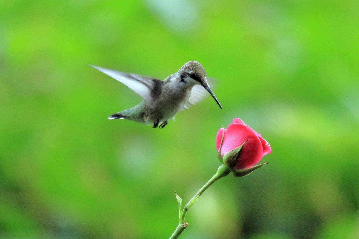 凯辛娜公园拍的蜂鸟_图1-3
