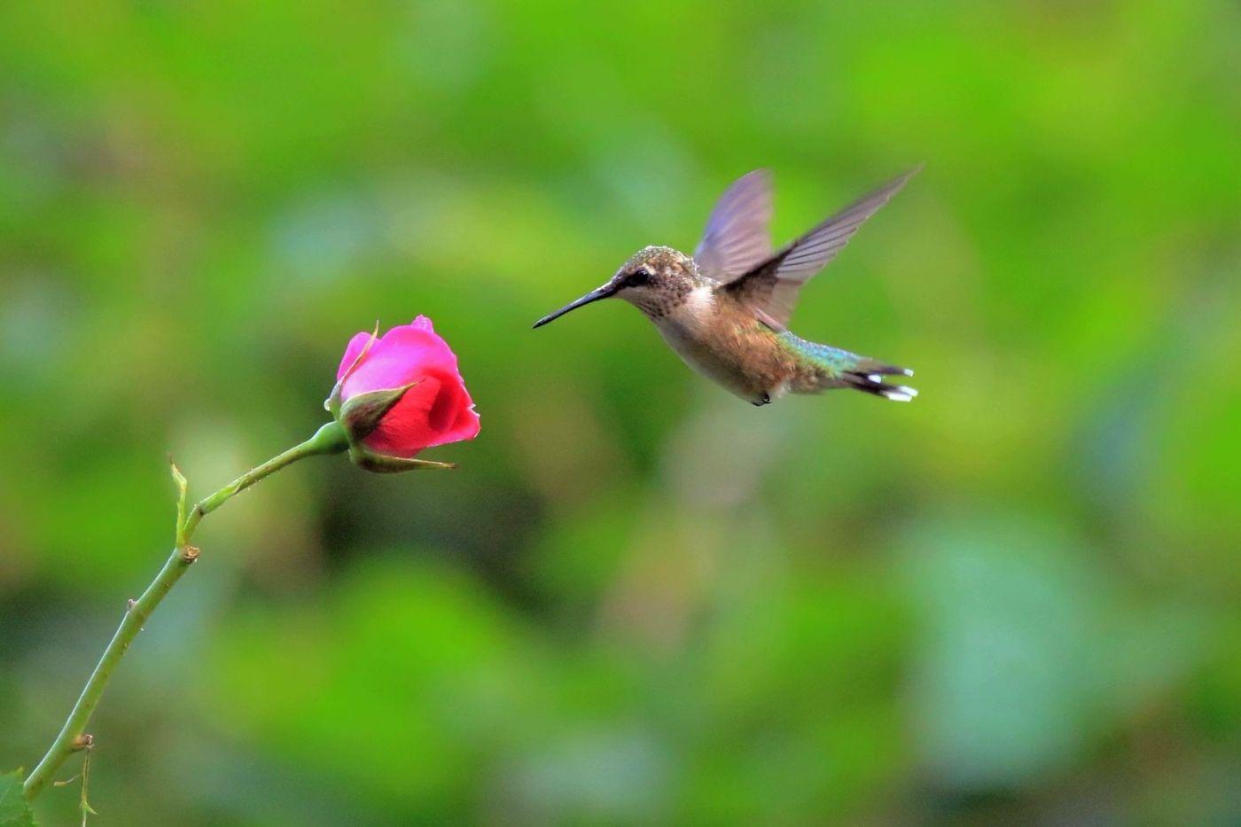 凯辛娜公园拍的蜂鸟_图1-4