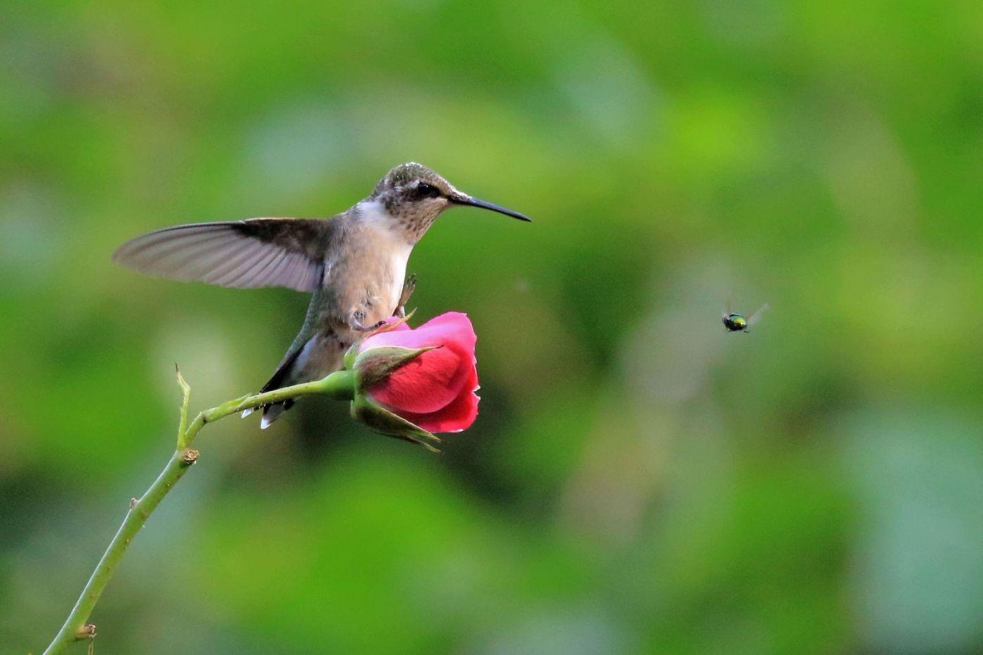 凯辛娜公园拍的蜂鸟_图1-5