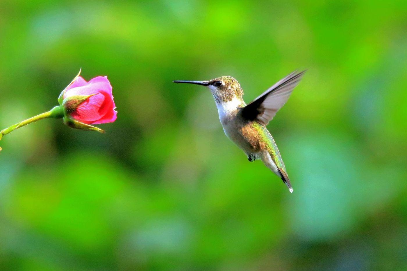 凯辛娜公园拍的蜂鸟_图1-6