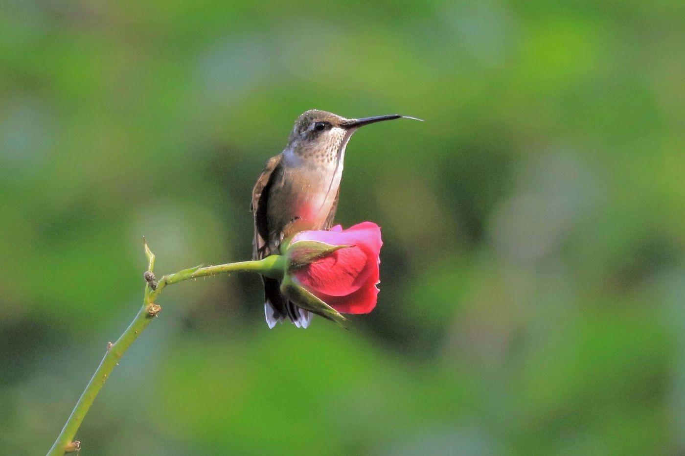 凯辛娜公园拍的蜂鸟_图1-7