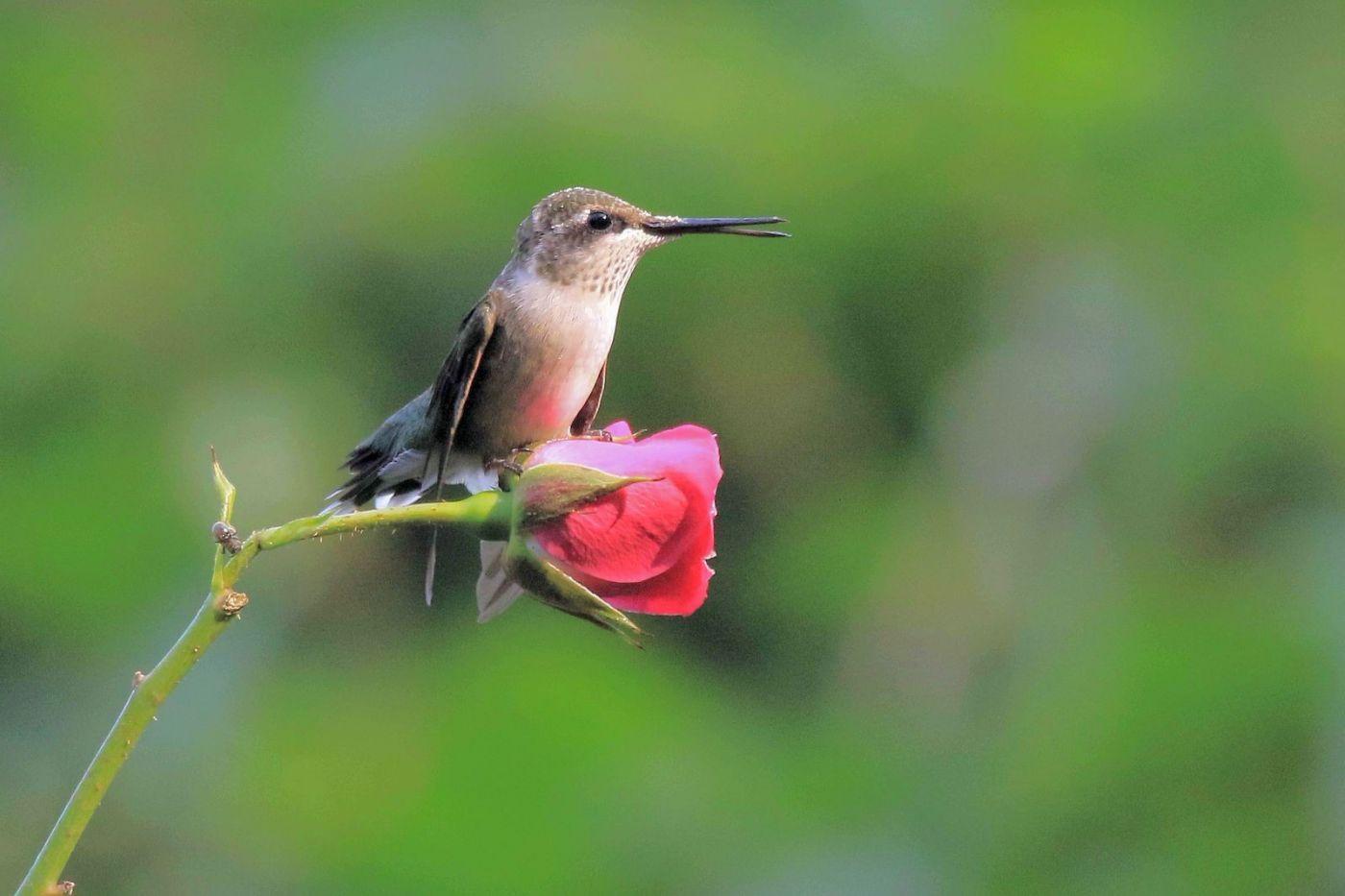 凯辛娜公园拍的蜂鸟_图1-8
