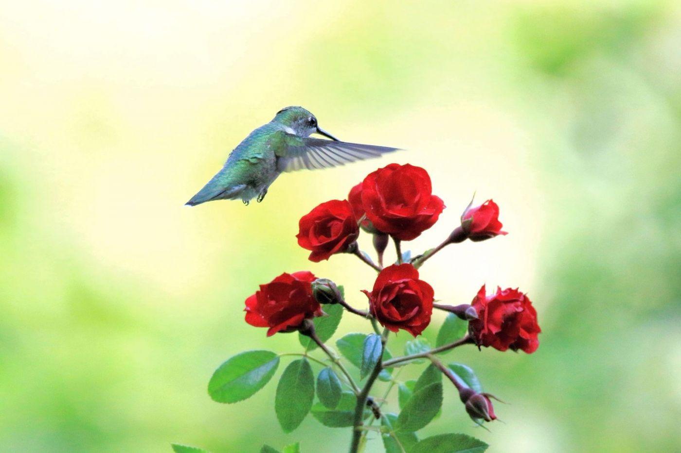 凯辛娜公园拍的蜂鸟_图1-9