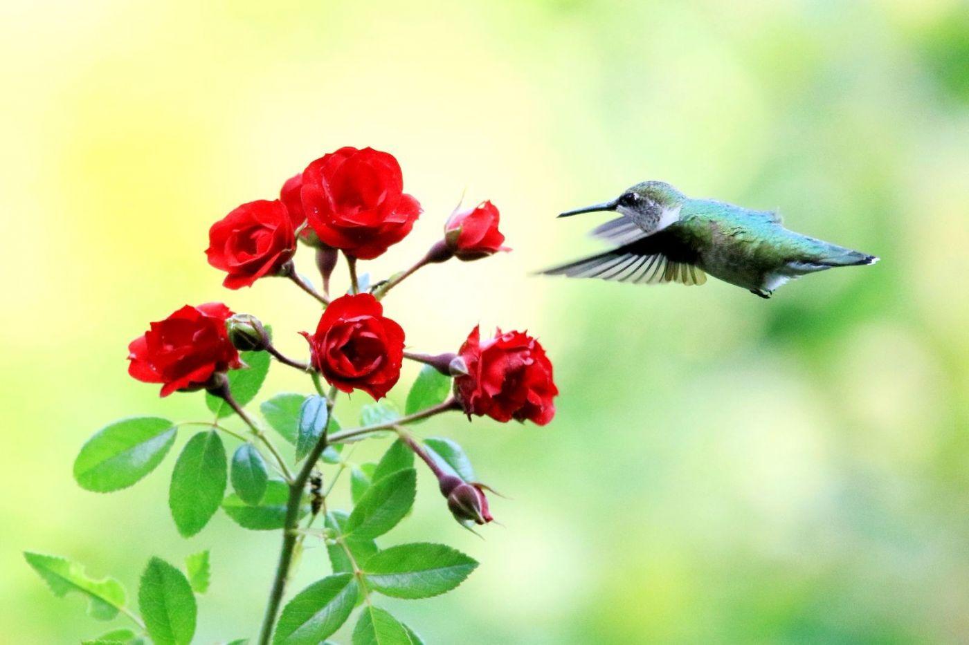 凯辛娜公园拍的蜂鸟_图1-10