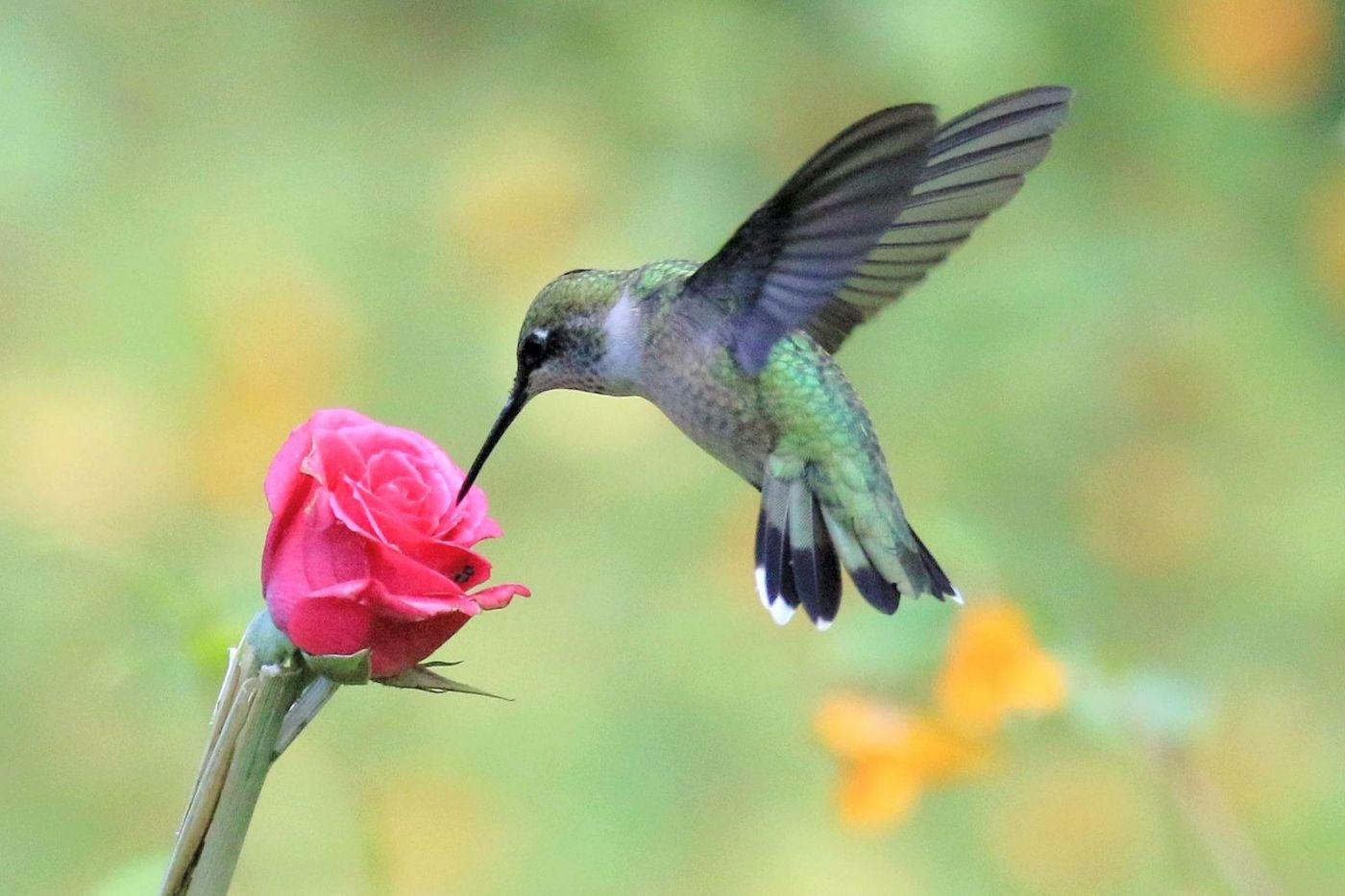 凯辛娜公园拍的蜂鸟_图1-11