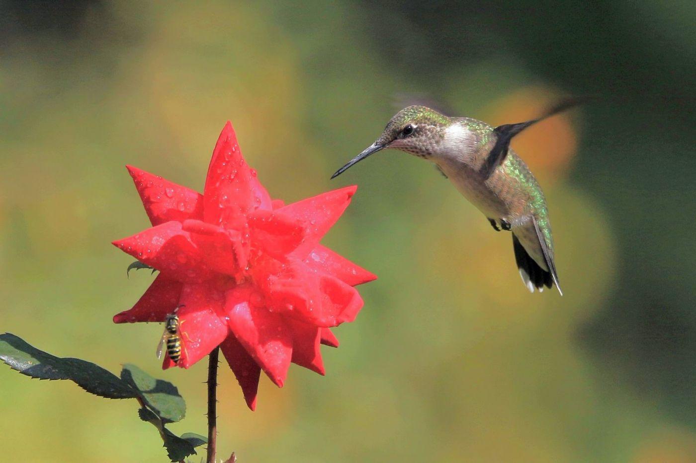 凯辛娜公园拍的蜂鸟_图1-12