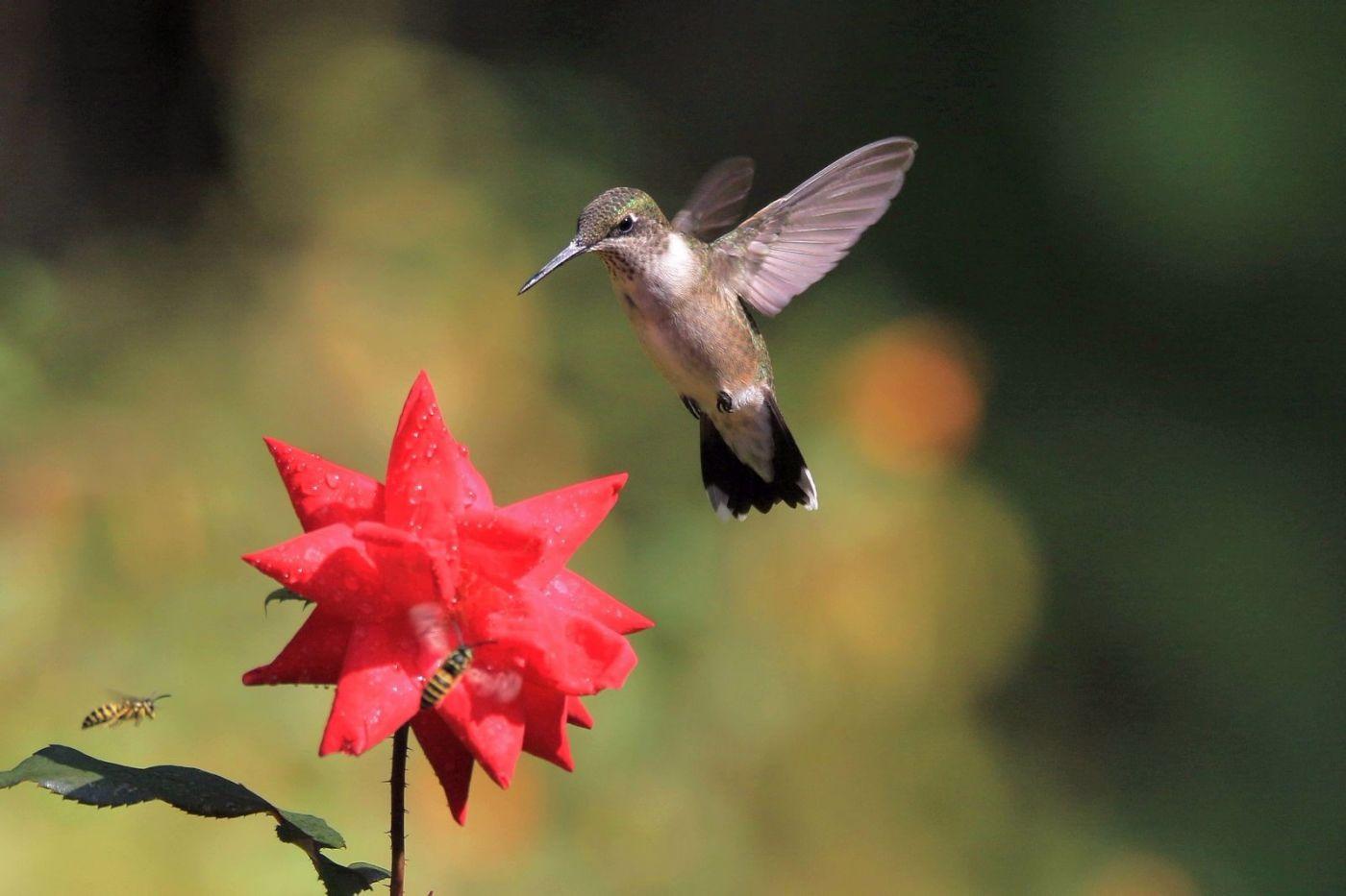 凯辛娜公园拍的蜂鸟_图1-13