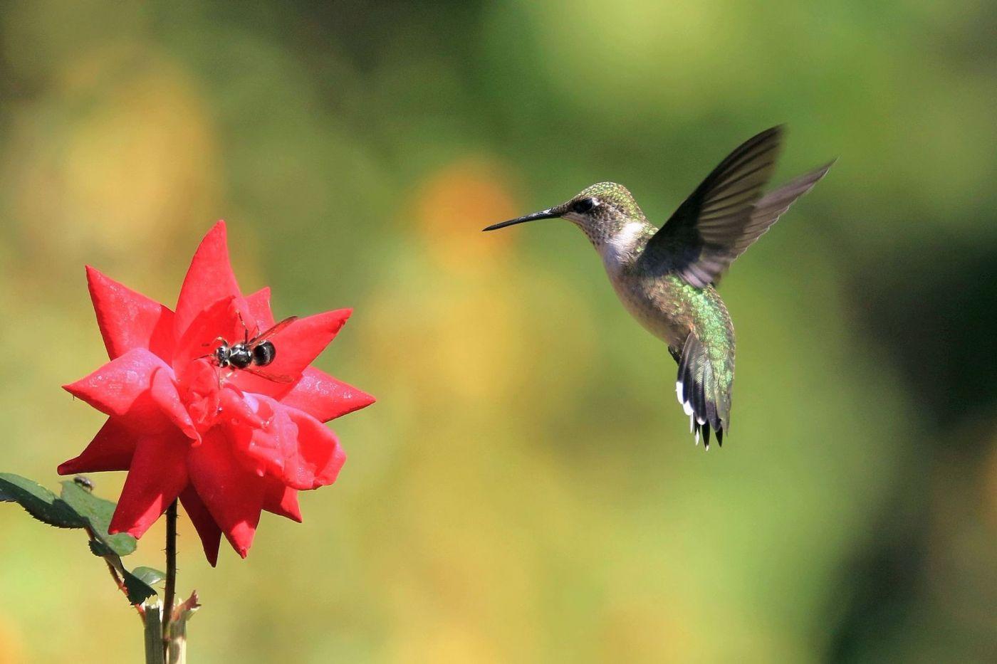 凯辛娜公园拍的蜂鸟_图1-14