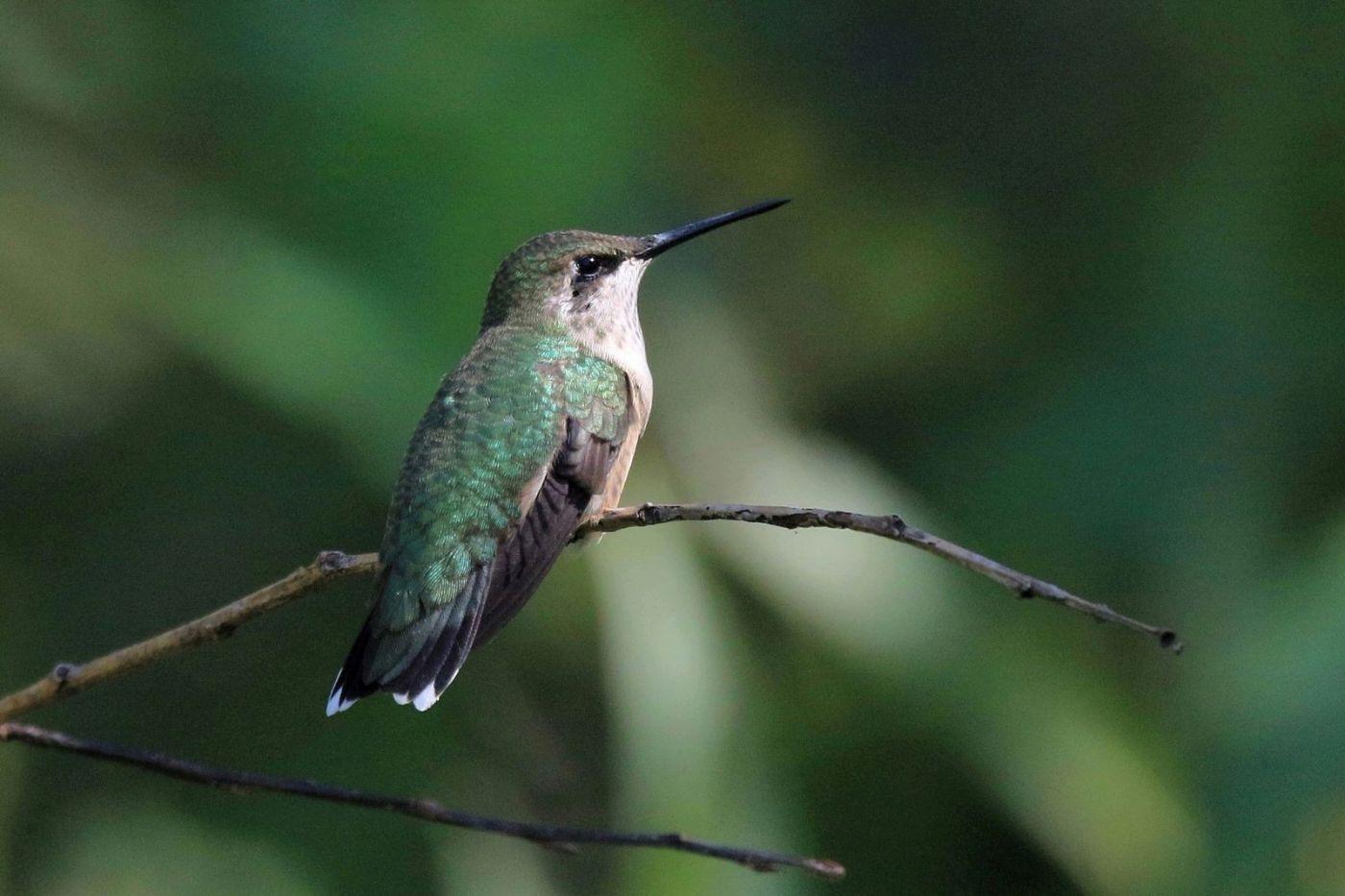 凯辛娜公园拍的蜂鸟_图1-15