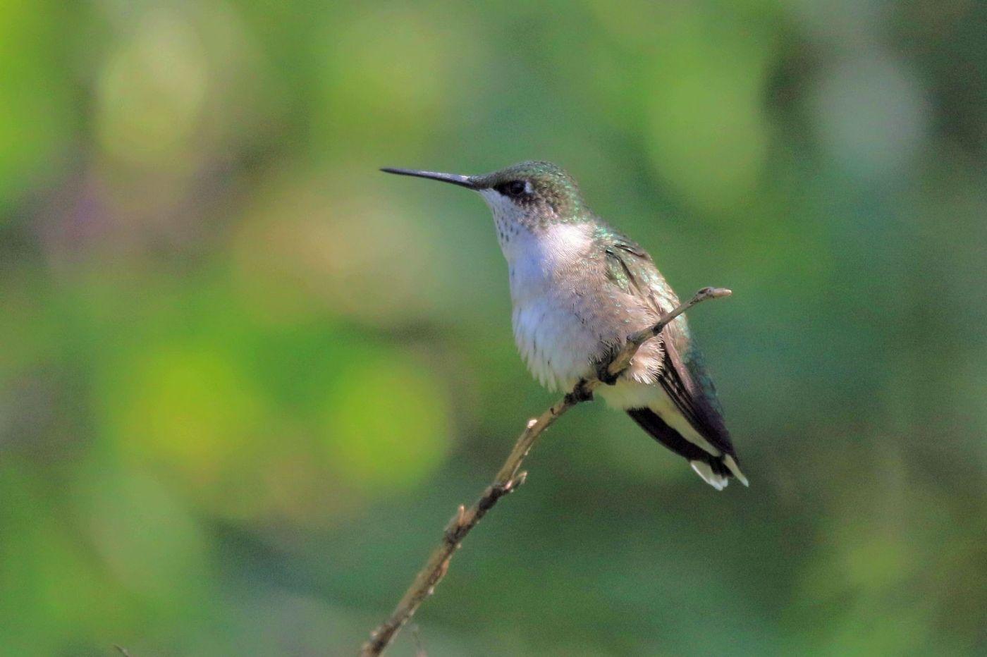 凯辛娜公园拍的蜂鸟_图1-16