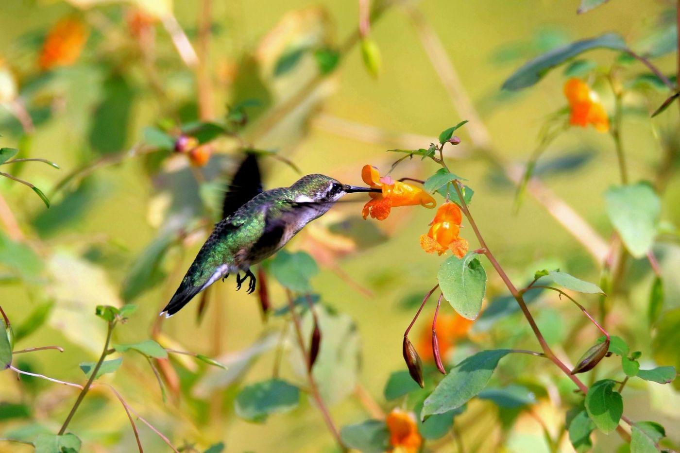 凯辛娜公园拍的蜂鸟_图1-17