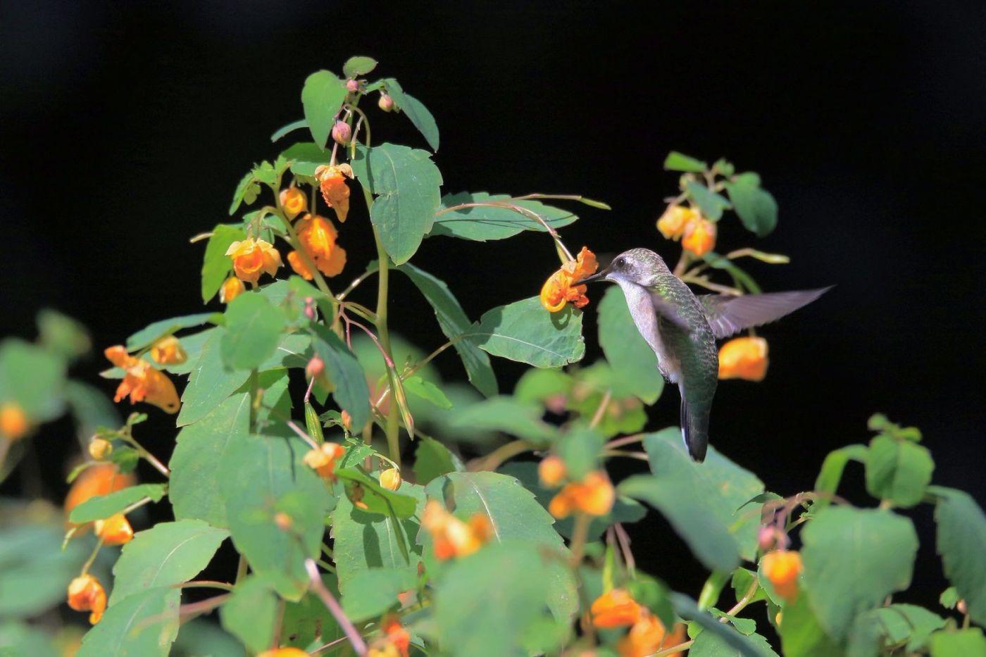 凯辛娜公园拍的蜂鸟_图1-18