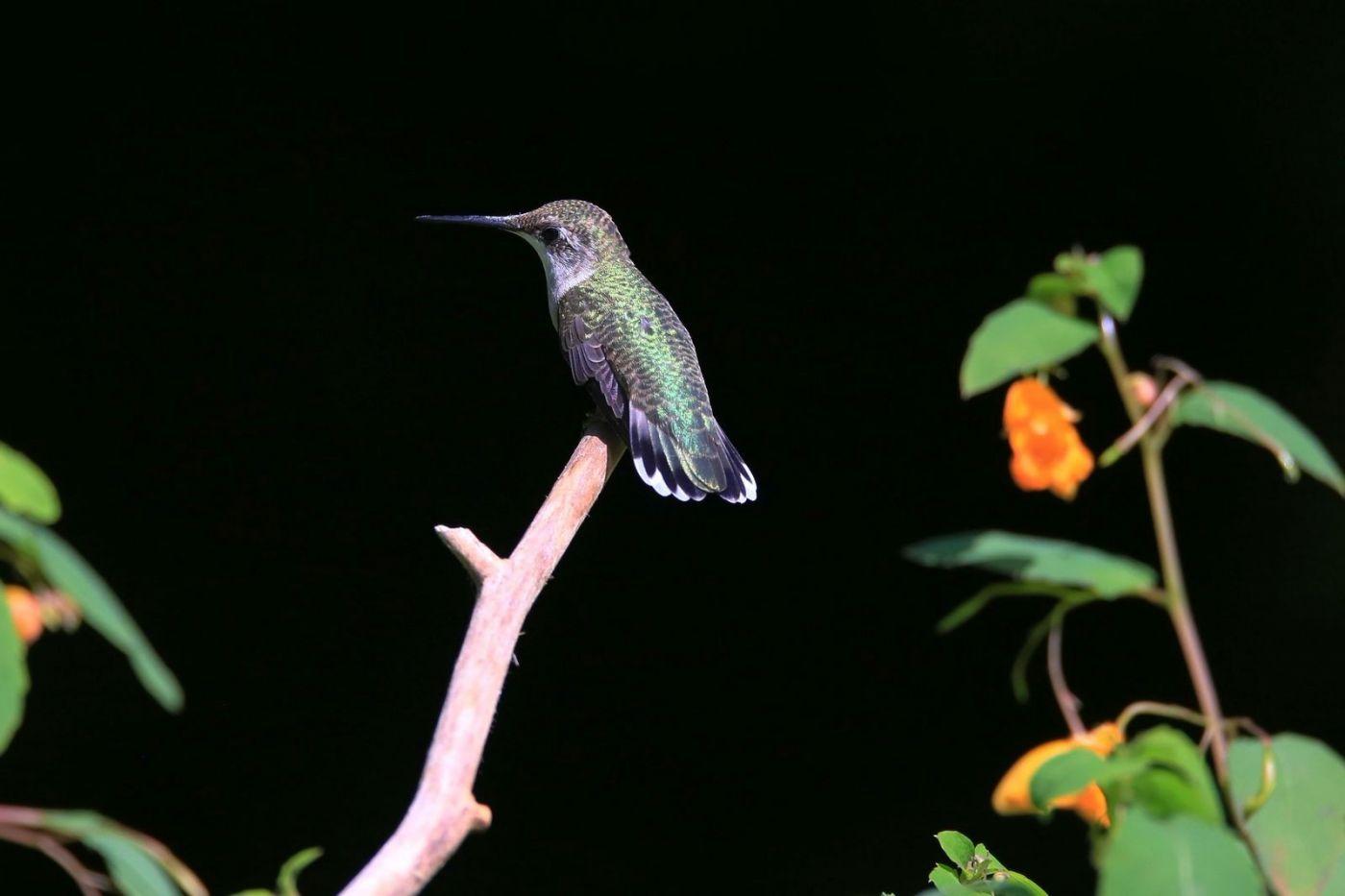 凯辛娜公园拍的蜂鸟_图1-19