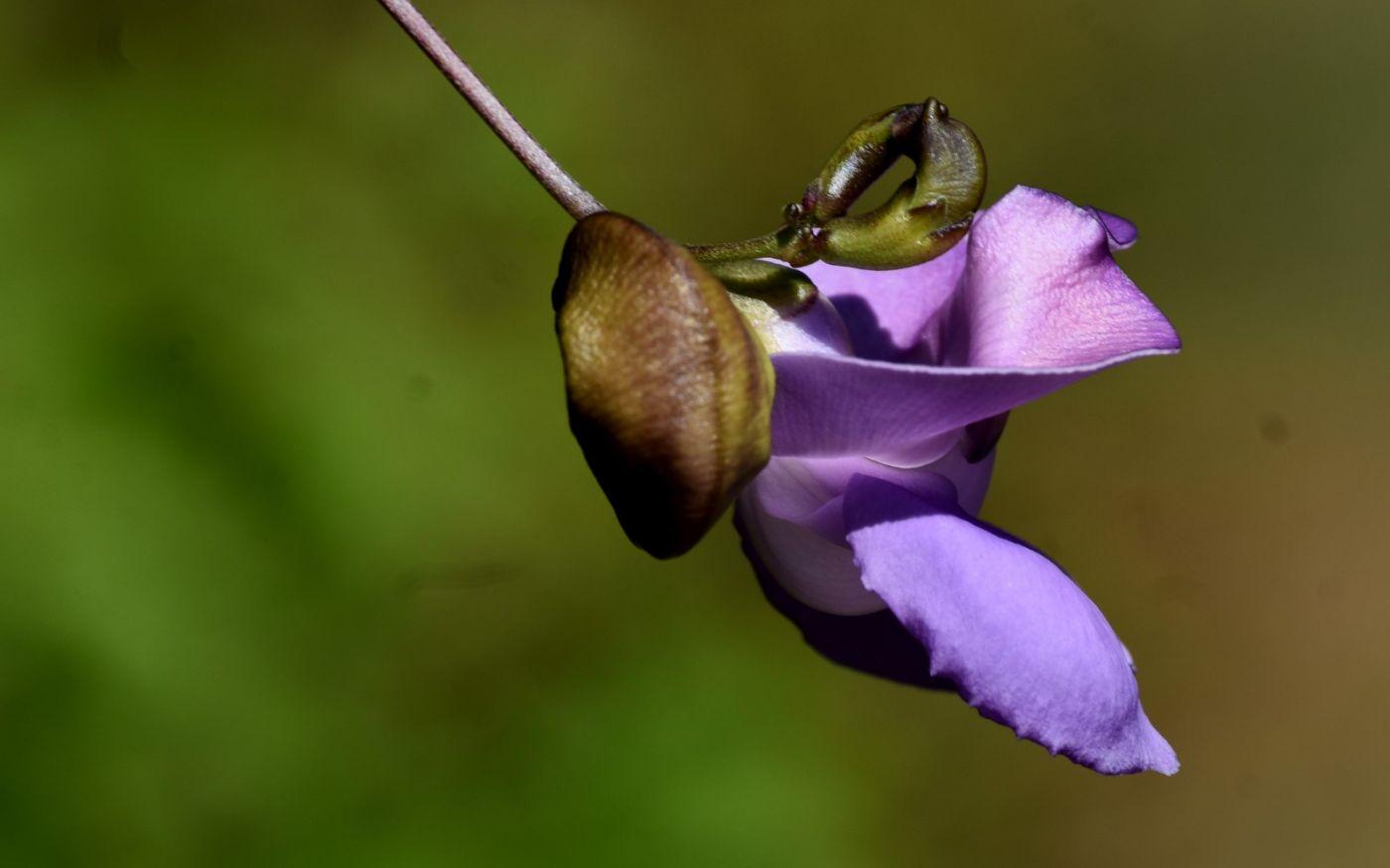 蜗牛花_图1-11
