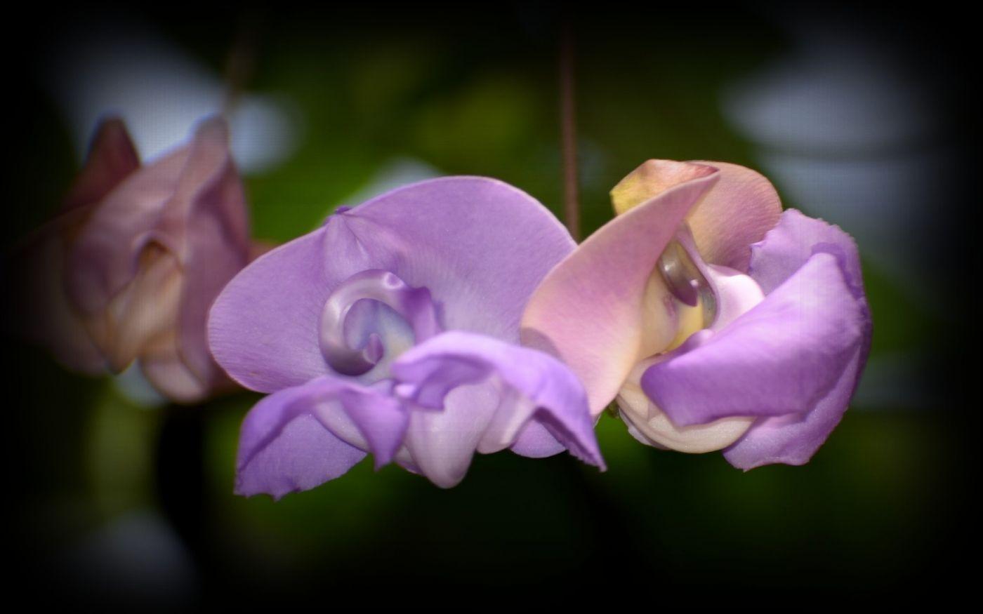 蜗牛花_图1-16