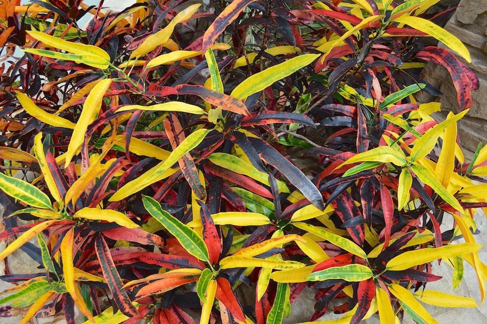 南加州见到的变叶木_图1-12