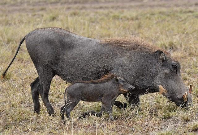 疣猪_图1-1