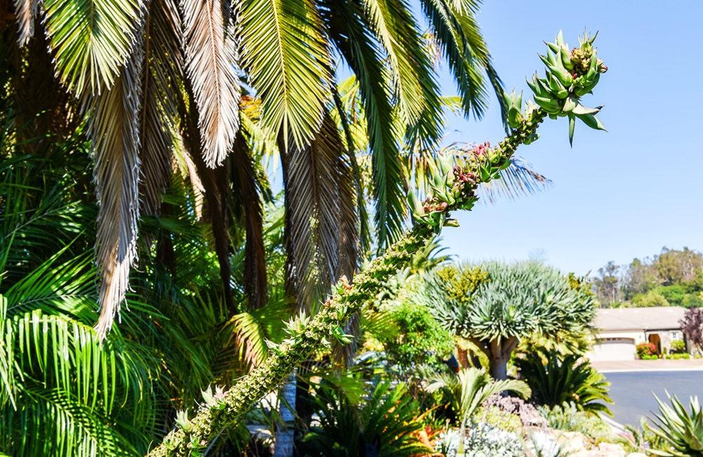 南加州见到的龙舌兰_图1-4
