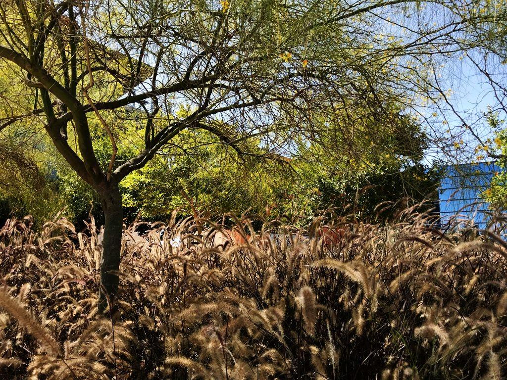 圣地亚哥公园里的狗尾巴草_图1-9