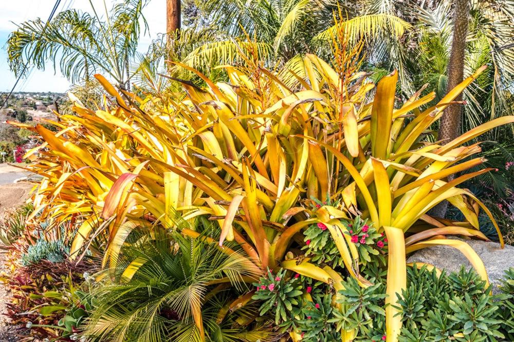 南加州的凤梨植物_图1-4