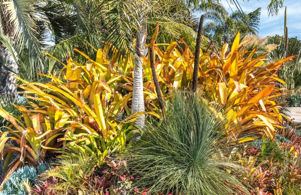 南加州的凤梨植物_图1-5