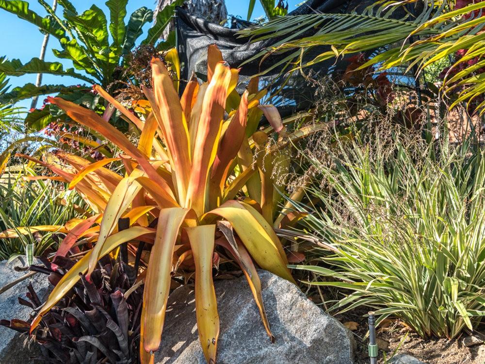 南加州的凤梨植物_图1-8