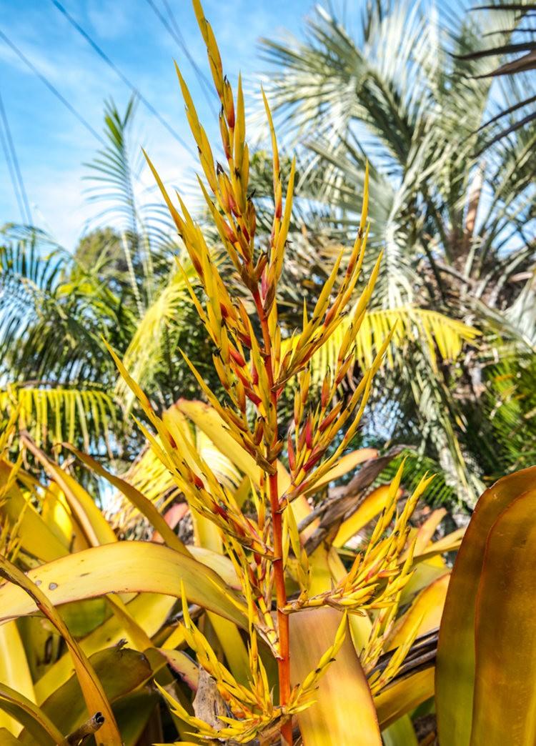 南加州的凤梨植物_图1-9